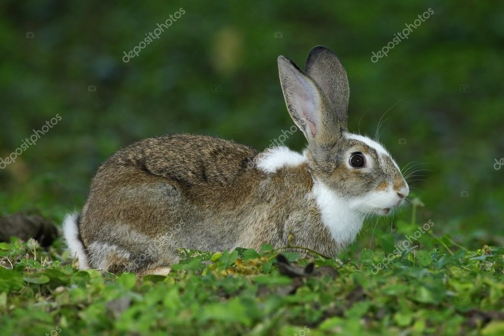 Young rabbit in natural habitat