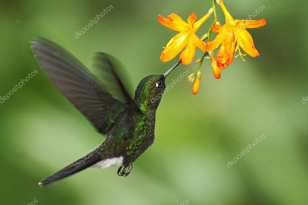 Hummingbird Tourmaline Sunangel