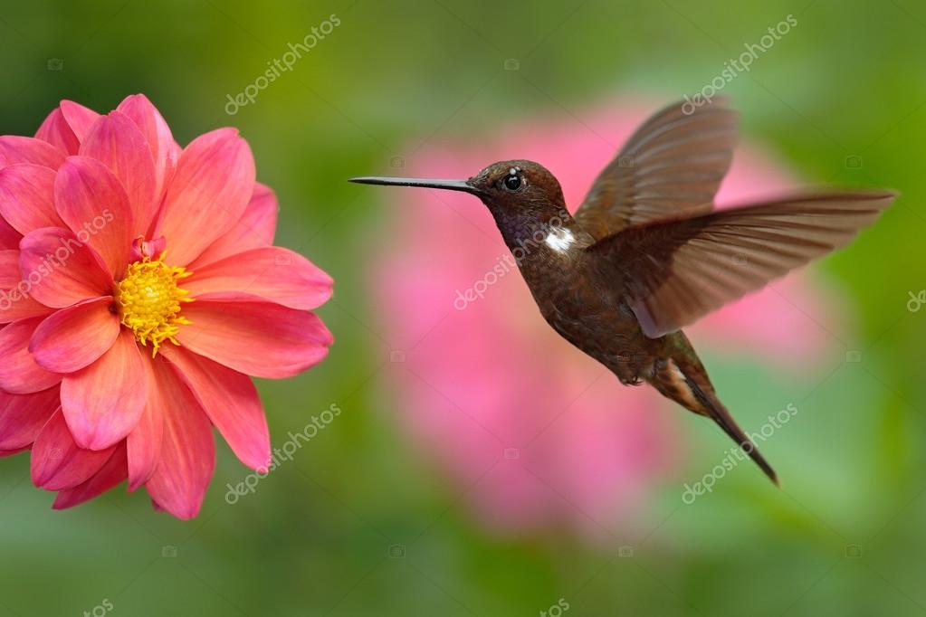Hummingbird Brown Inca