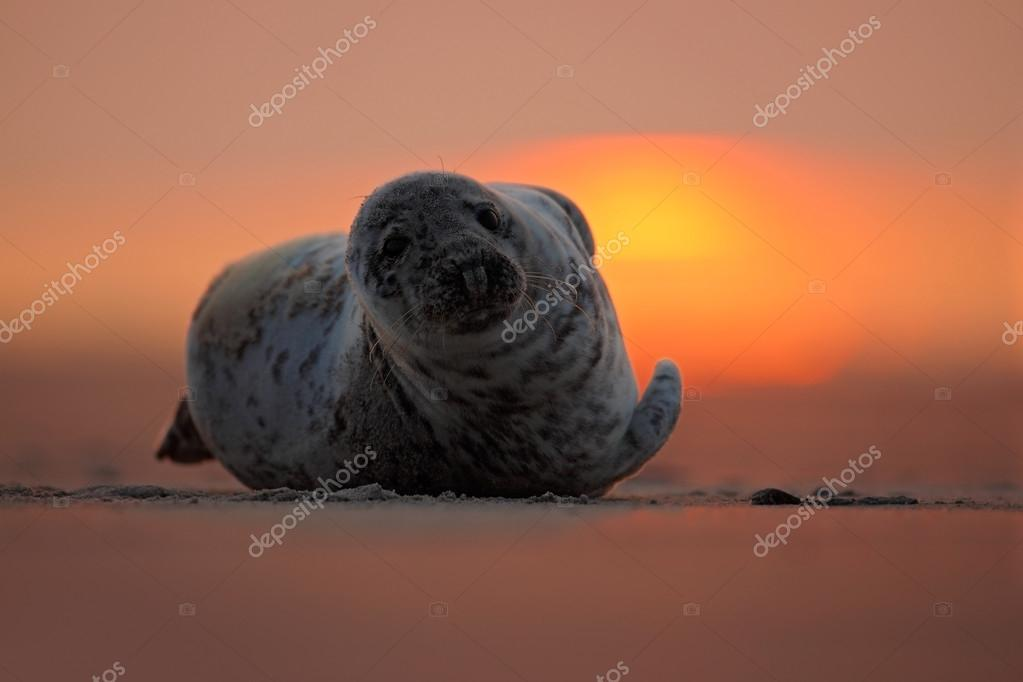 Seal lying at sunset