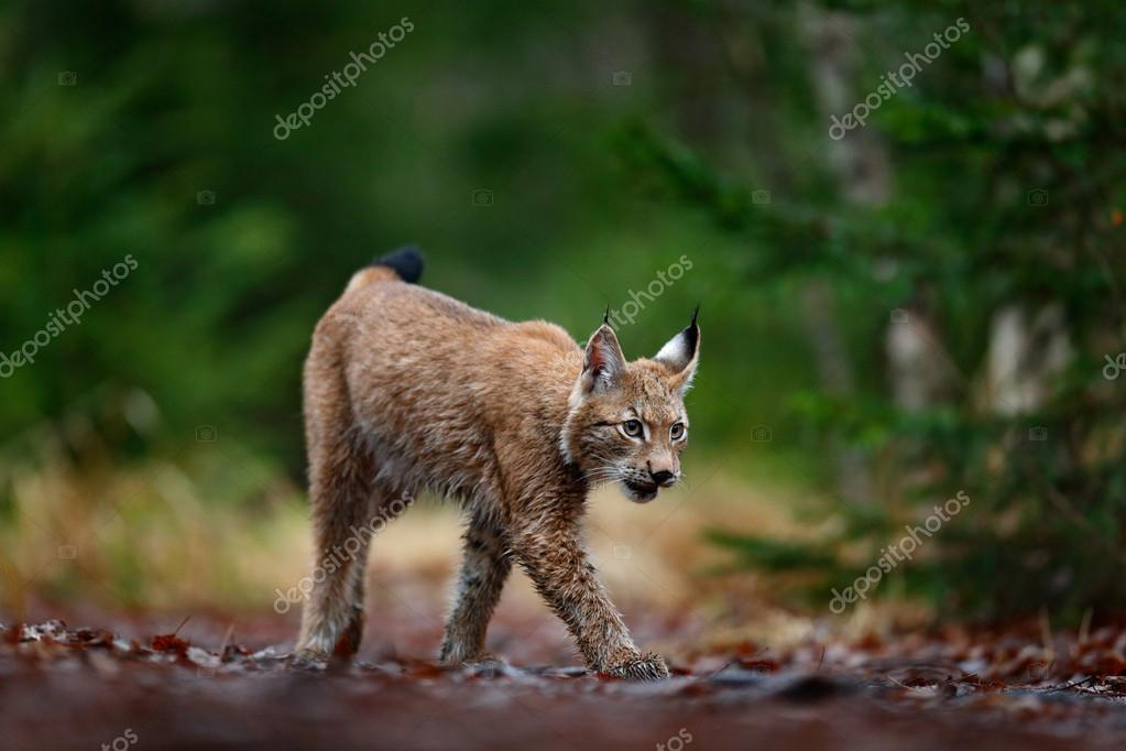 Walking Eurasian Lynx