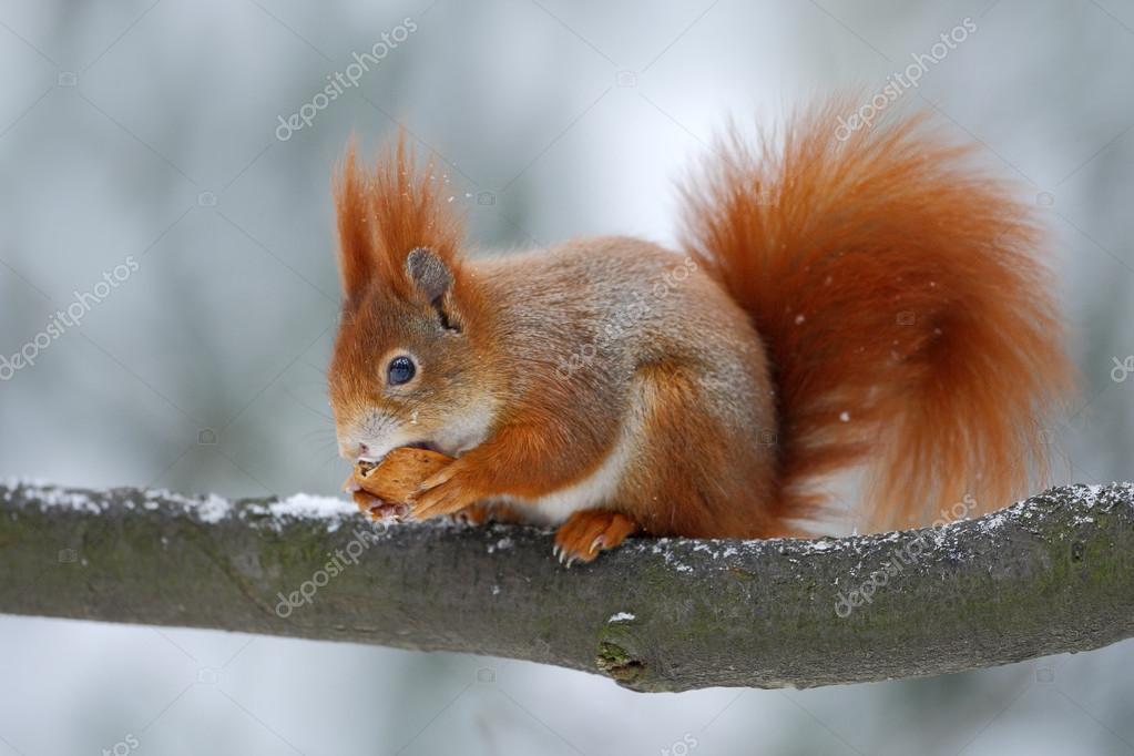 Cute orange red squirrel