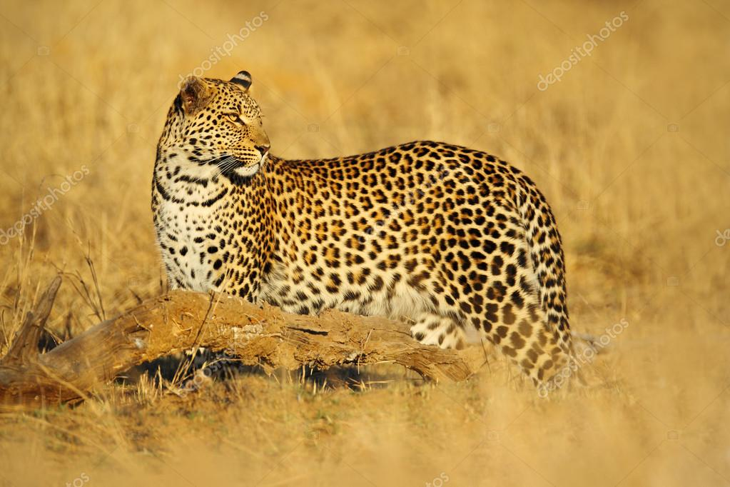 African Leopard in Hwange National Park