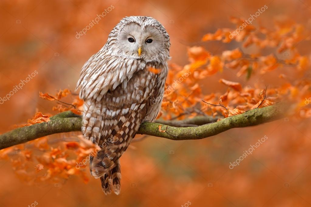 Ural Owl at orange oak