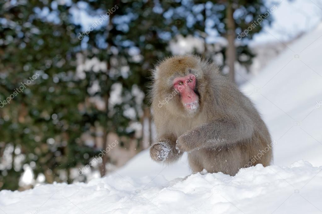 Monkey eating snow