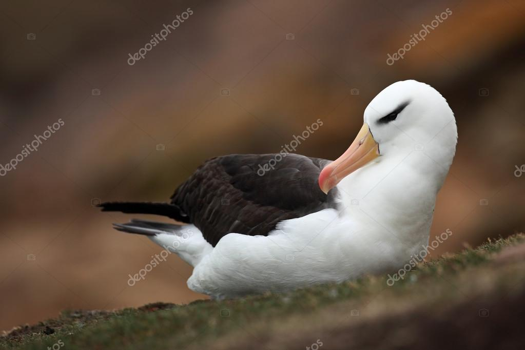 Black-browed albatross on the Falkland Islands