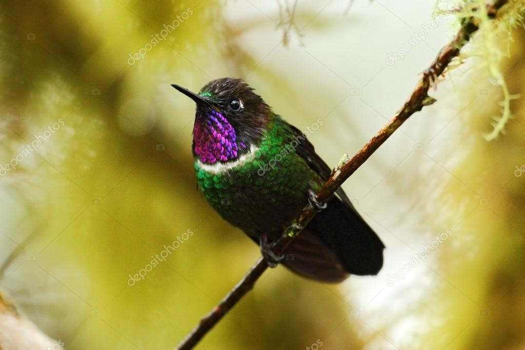 Gorgeted Sunangel hummingbird from Mindo forest