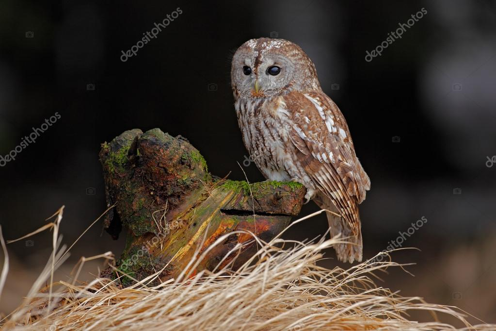 Brown bird Tawny owl