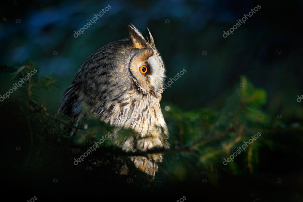Long-eared Owl sitting on the branch