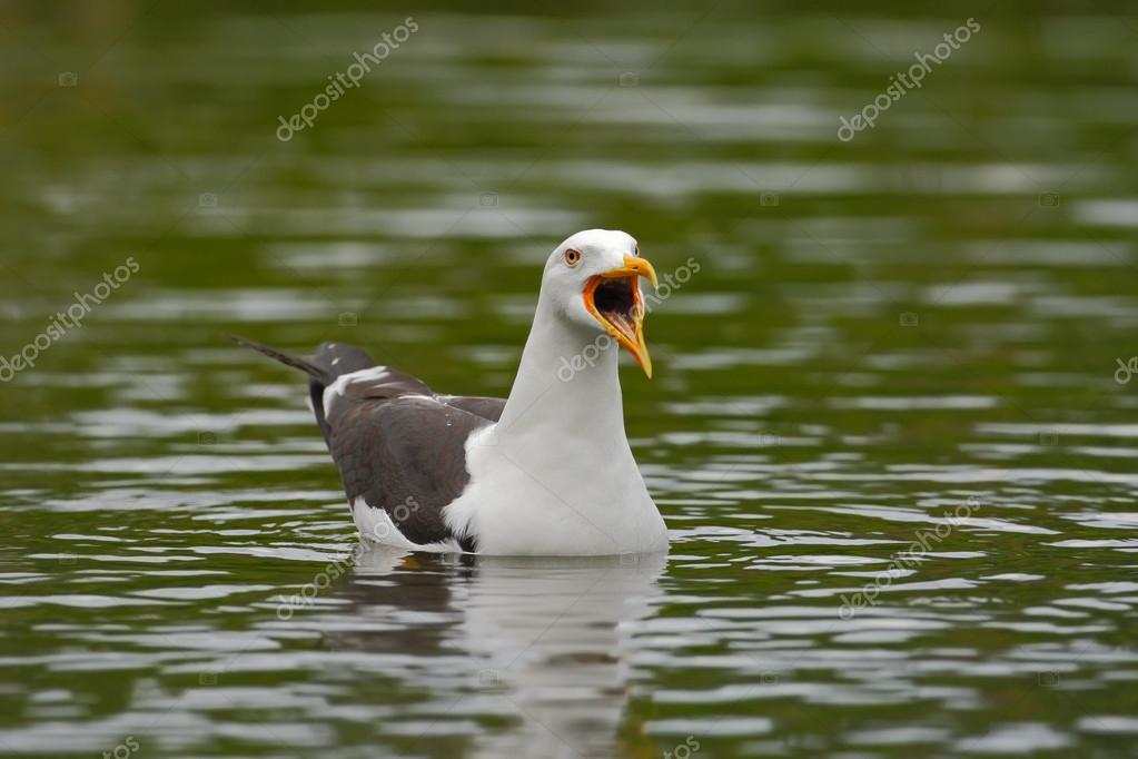 Kelp Gull with open bill