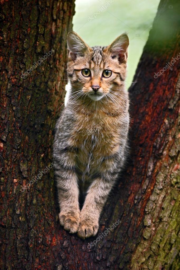 Přírodní velká kočička