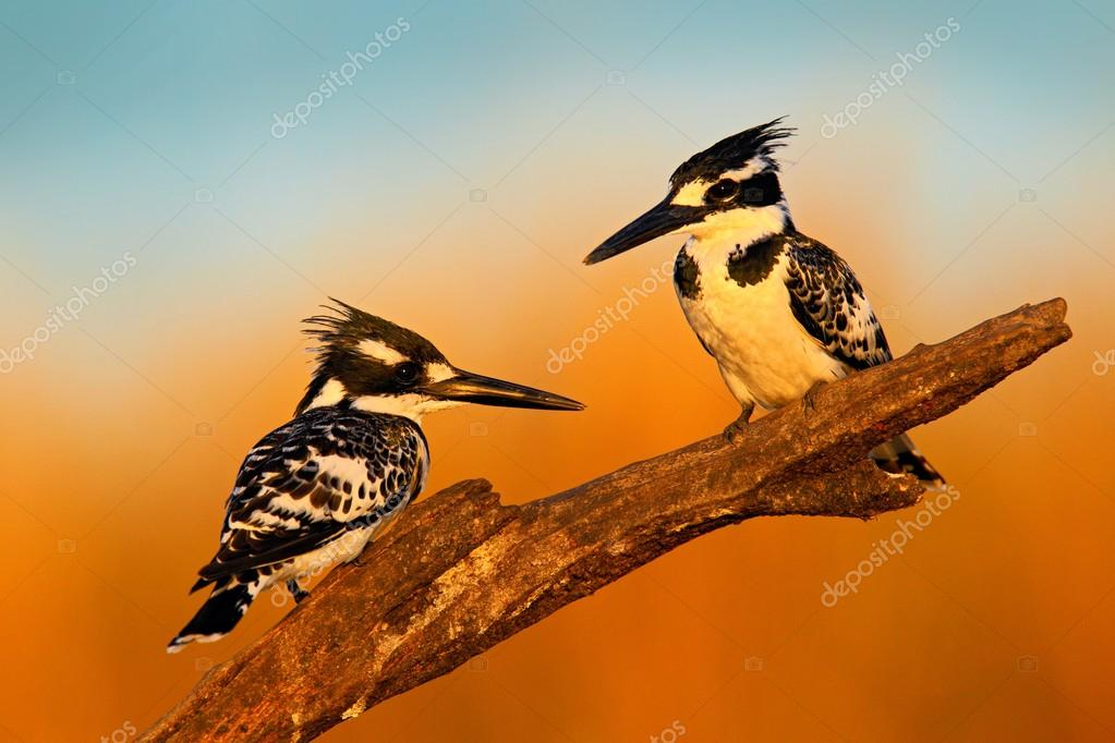 Couple of black and white Pied Kingfishers
