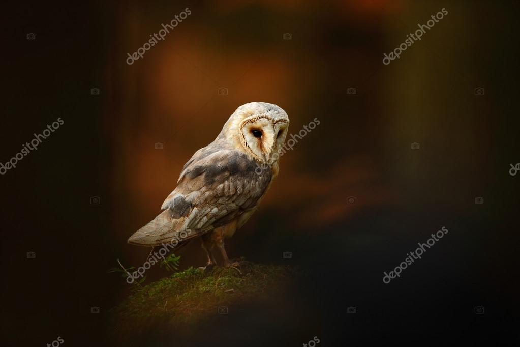 Barn owl sitting on stone