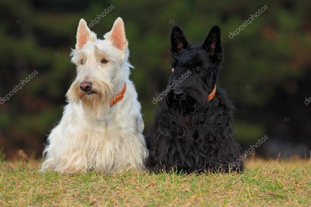 Pair of  scottish terriers