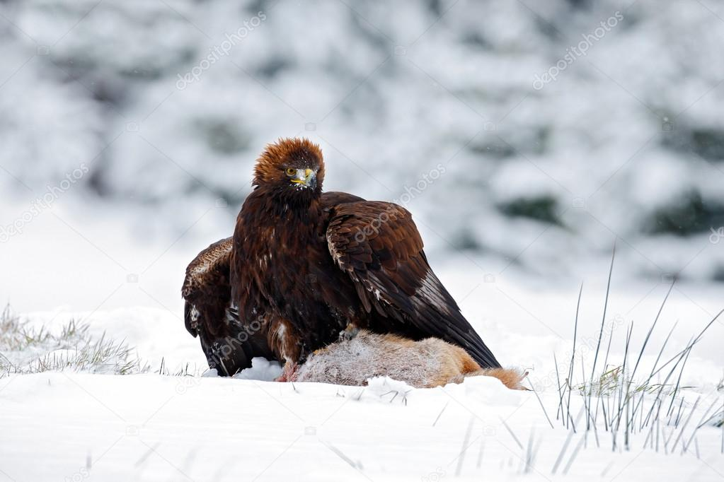 Golden Eagle with catch hare