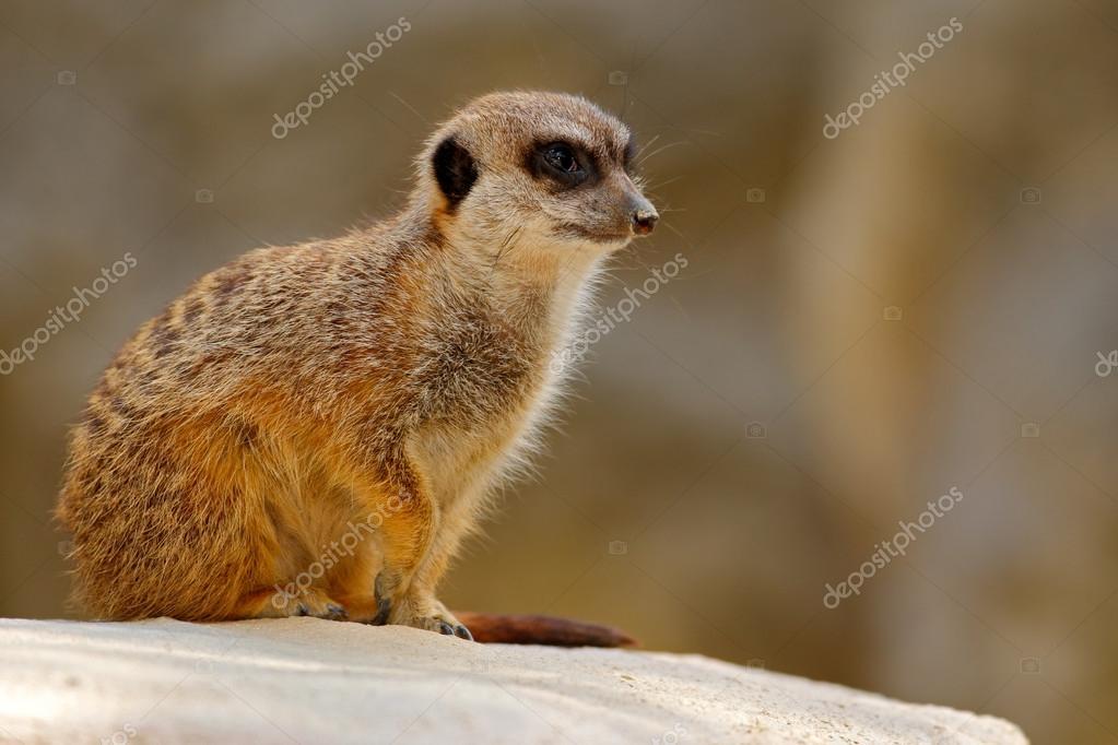 Cute Meerkat sitting on the stone