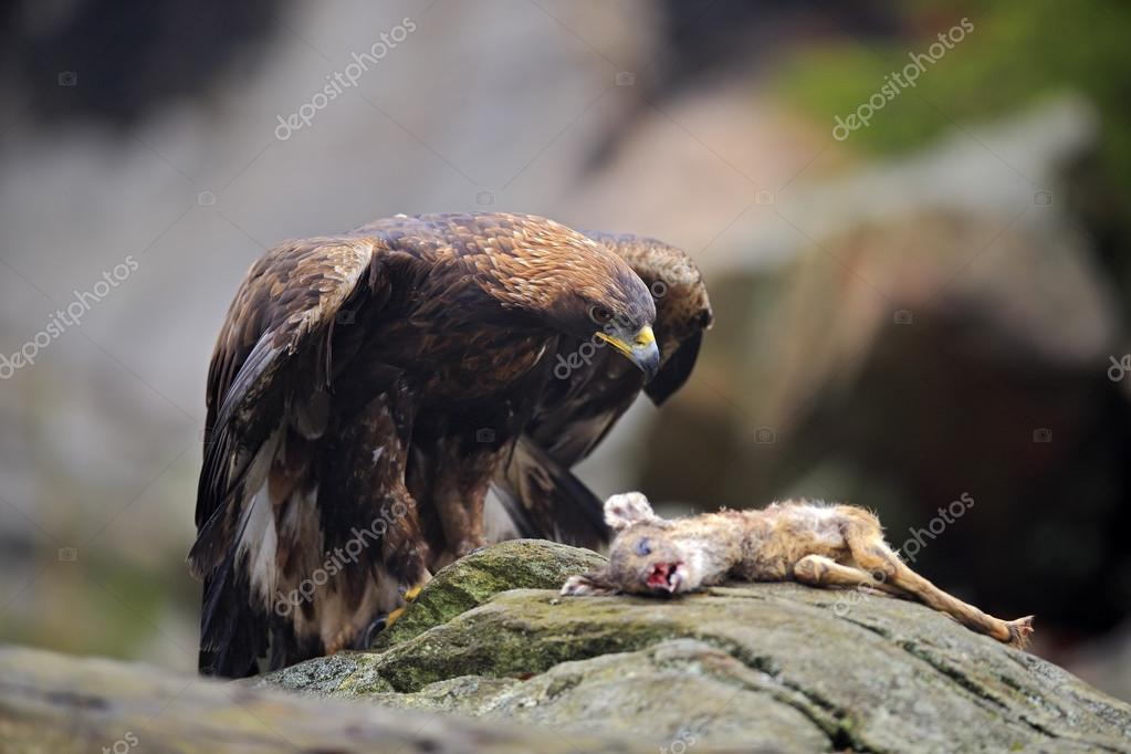 golden eagle chat Big bear bald eagle cam p&d sharpe loading chat is disabled for this live stream the golden eagle scotland.