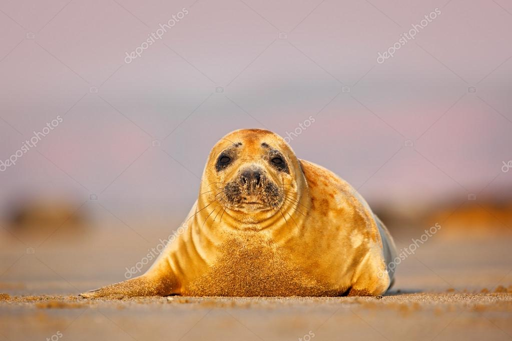Grey Seal on the sand beach