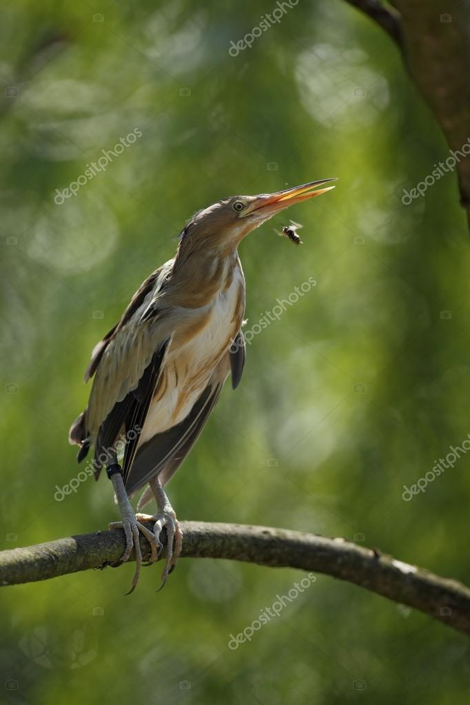 Little Bittern sitting on the branch