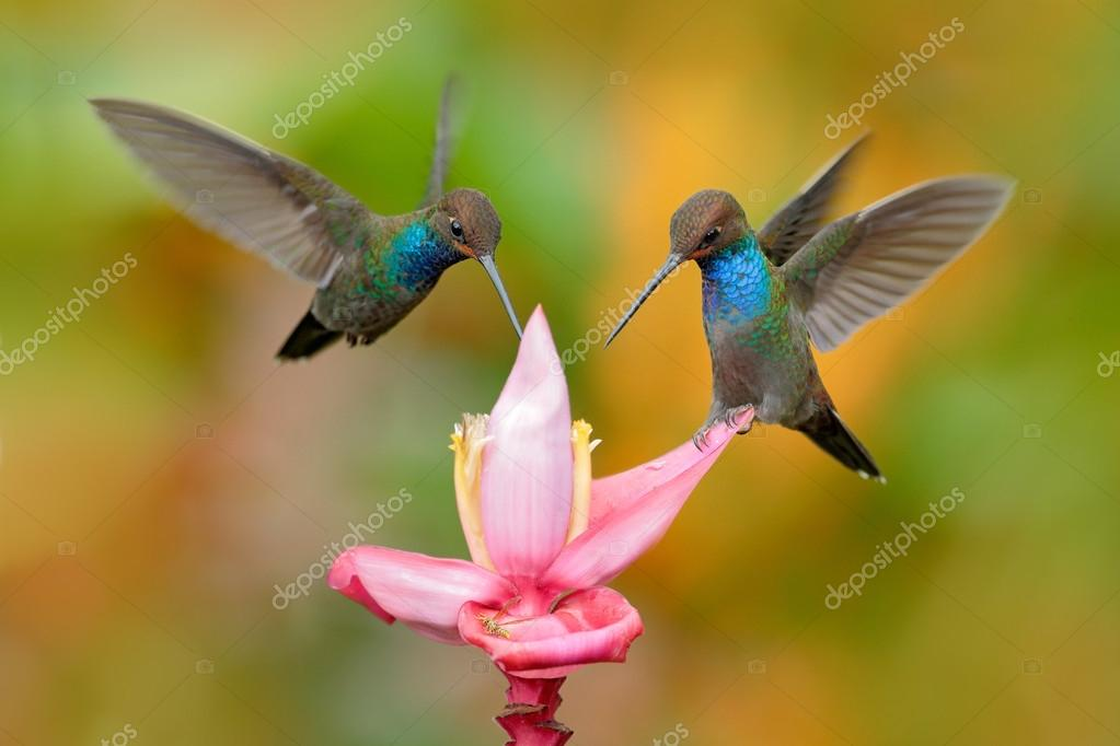 White-tailed Hillstar, Urochroa bougueri, two hummingbirds