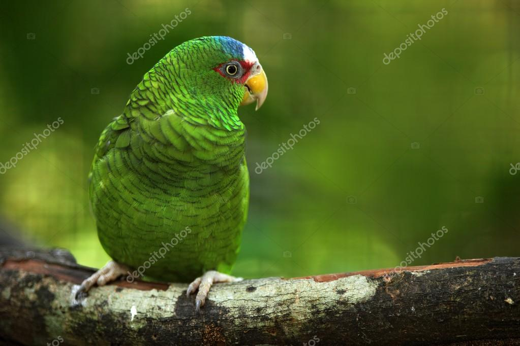 Green parrot White-fronted