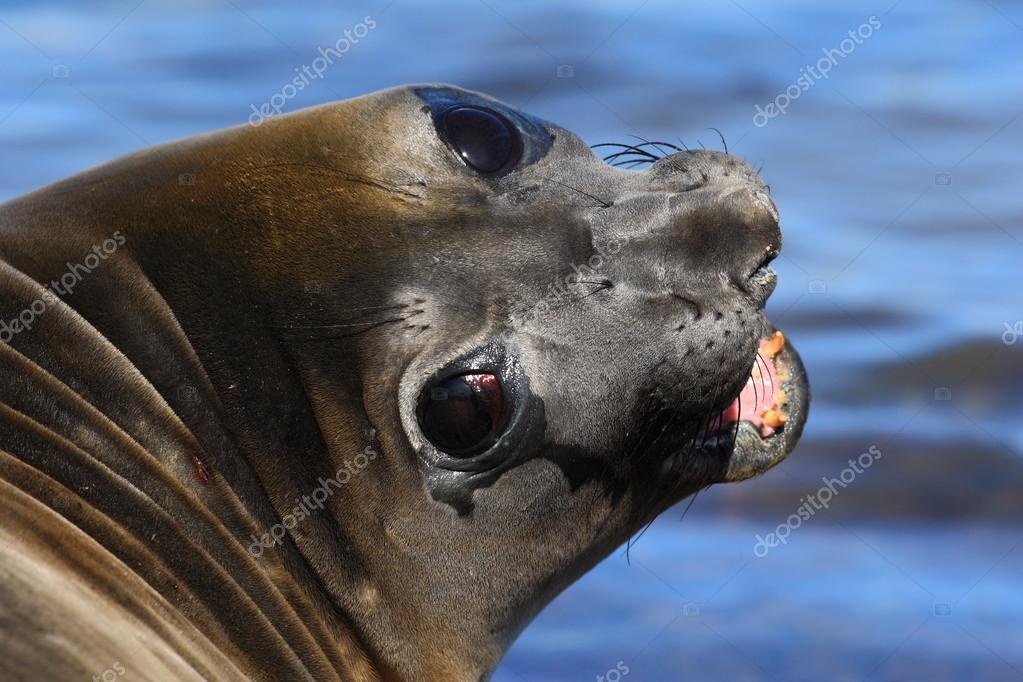 Portrait of Elephant seal