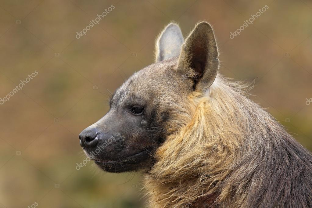 Portrait of Brown Hyena
