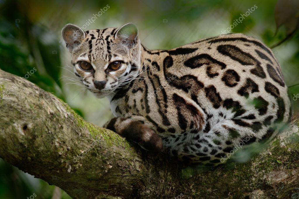 Margay sitiing on the branch