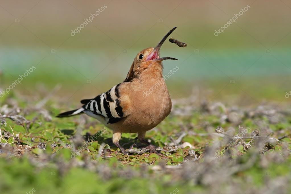 Hoopoe bird with open bill