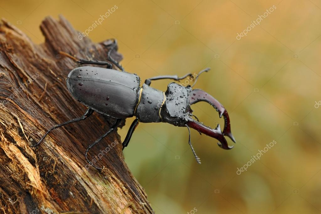Stag beetle on old tree trunk