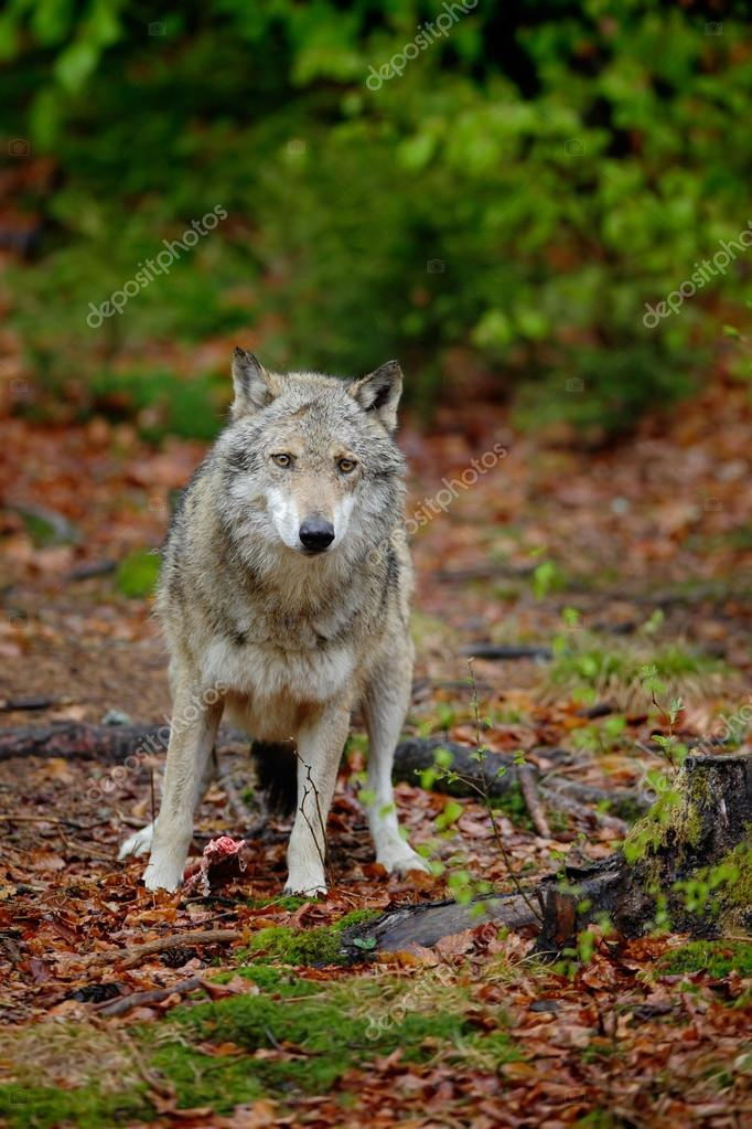 Gray wolf in the spring