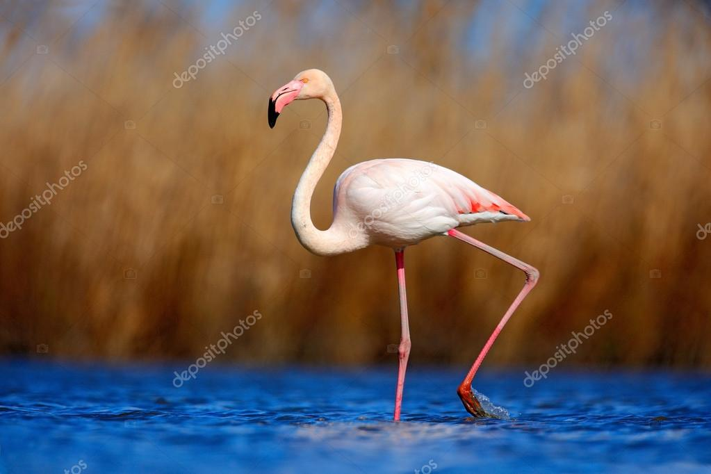 Greater Flamingo in dark blue water