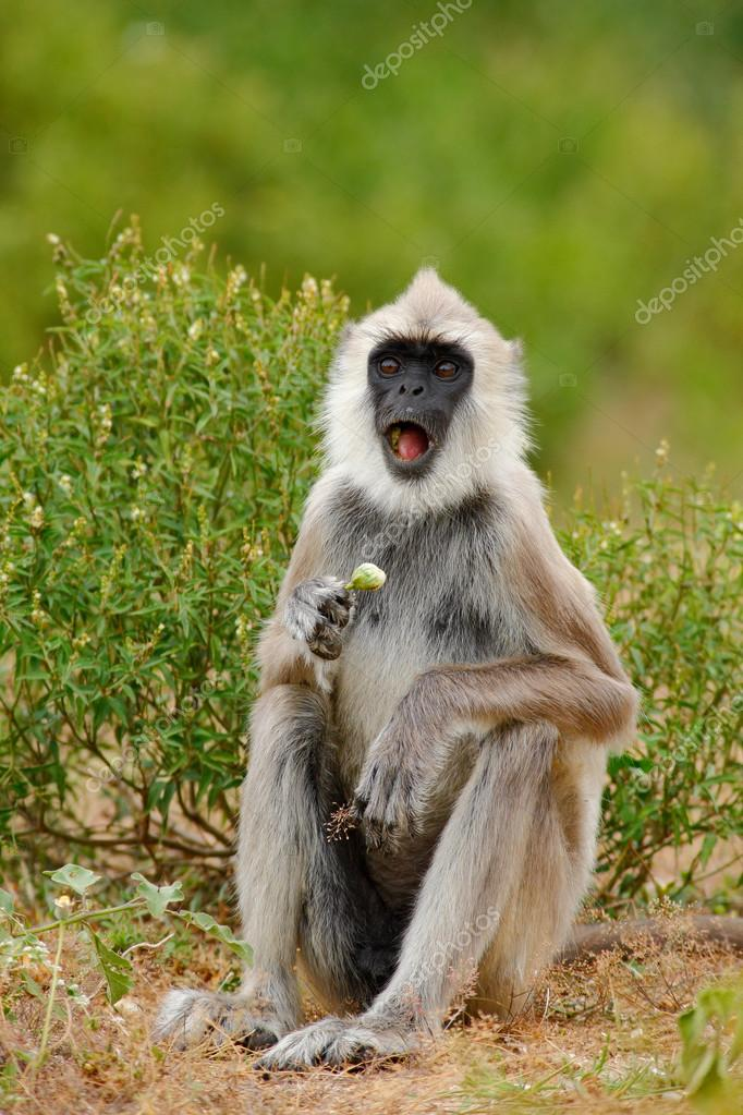 Common Langur, Semnopithecus entellus, monkey with fruit in the mouth