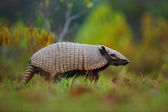 Fotografie Southern Naked-tailed Armadillo