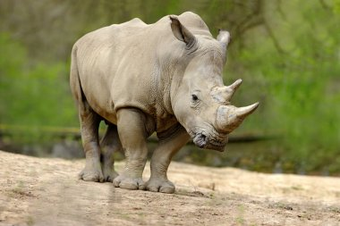 White rhinoceros with big horn