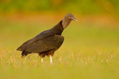 Ugly black bird Black Vulture