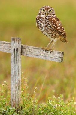 Burrowing Owl sitting on wooden cross