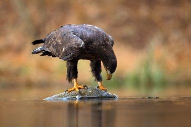 White-tailed Eagle feeding