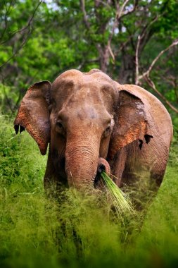 Asian Elephant with green grass