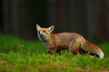 Running Red Fox, Vulpes vulpes, at green forest stock vector
