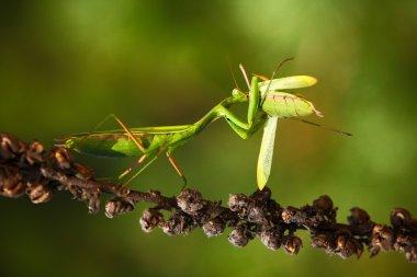Matins eating mantis