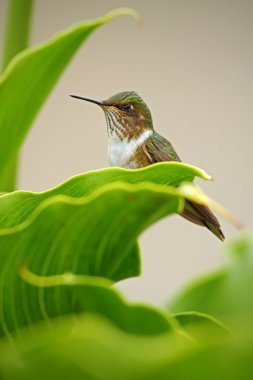 Volcano Hummingbird in the green leaves