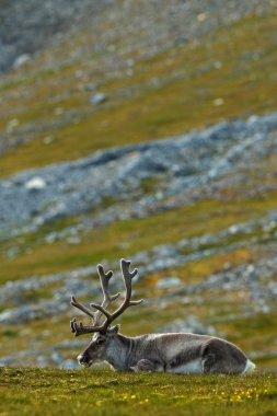 Svalbard Reindeer with massive antlers