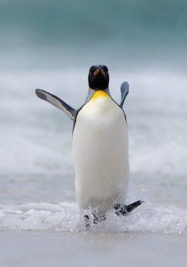Big King penguin