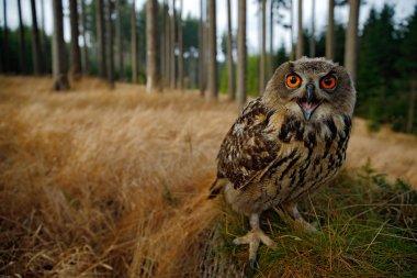Sitting young Eurasian Eagle Owl