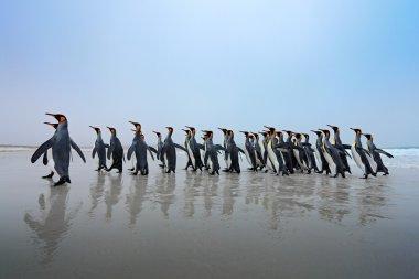 Group of King penguins re habitat, dark blue sky, Falkland Islands