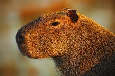 Portrait of biggest mouse Capybara