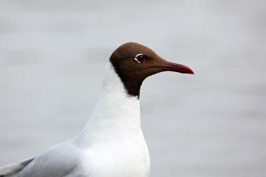 Black-headed Gull detail portrait