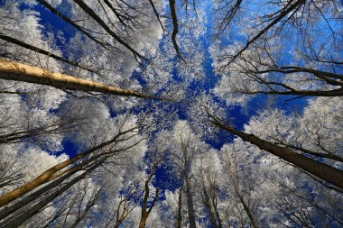 Winter landscape with treetops