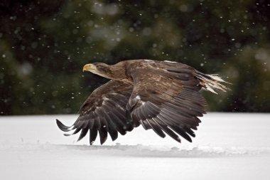 Bird of prey White-tailed Eagle